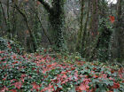 Ivy Evergreen Vines & Climbing Plants