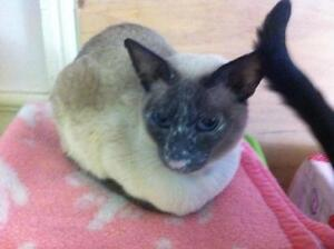 "Adult Male Cat - Siamese: ""Gus and Mila"" Kawartha Lakes Peterborough Area image 3"