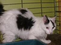 """Adult Male Cat - Domestic Long Hair: """"Fluff Muffin 15 (McCarty)"""""""