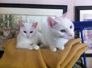 "Young Male Cat - Domestic Short Hair-white: ""Freddie and Eddie"""