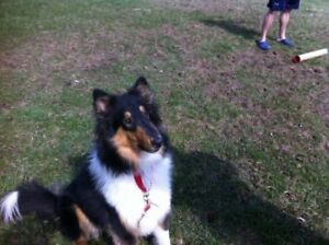 "Young Male Dog - Collie: ""Angus"""