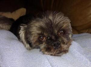 "Young Male Dog - Shih Tzu: ""Rufas and Darla"""