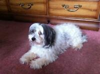 "Senior Male Dog - Shih Tzu: ""Buddy"""
