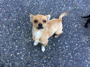 """Young Male Dog - Chihuahua: """"Tucker"""""""