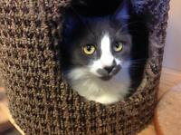 Adult Female  - Domestic Medium Hair - gray and white