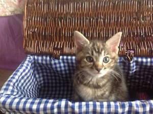 Kitten 'Queenie' - Hunter Animal Rescue Weston Cessnock Area Preview