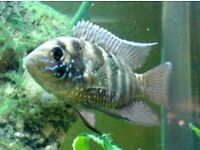 "Blue Acara 3-4"" for sale - live tropical fish South American Cichlids"