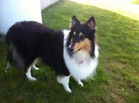 "Adult Female Dog - Collie: ""Chloe"""