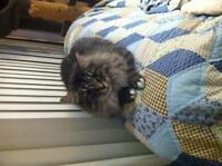 "Adult Female Cat - Persian: ""Sherri"""