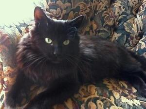 """Adult Male Cat - Domestic Long Hair: """"Niles"""" Downtown-West End Greater Vancouver Area image 3"""