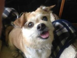 "Senior Male Dog - Chihuahua-Pug: ""Leo *in Foster*"""