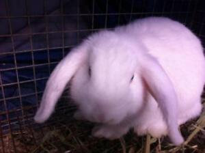 "Young Male Rabbit - Lop Eared: ""Odie"""