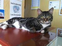 "Adult Male Cat - Tabby - Brown: ""Hudson"""