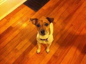 """Adult Female Dog - Jack Russell Terrier: """"Moxy"""""""