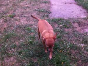"Adult Female Dog - Chihuahua: ""BAMBIE"" Kawartha Lakes Peterborough Area image 3"