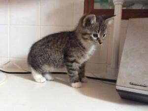 """Baby Male Cat - Domestic Short Hair: """"Victor"""""""
