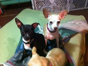 "Adult Female Dog - Chihuahua: ""SCOTA BONDED PAIR WITH TORIN"" Kawartha Lakes Peterborough Area image 2"