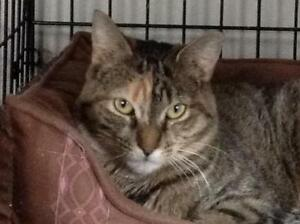 """Adult Female Cat - Dilute Tortoiseshell: """"Minxy"""" West Island Greater Montréal image 1"""