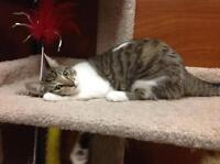 "Young Female Cat - Domestic Short Hair: ""Sophia"""