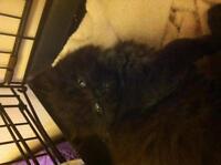 """Baby Male Cat - Persian: """"Bear Jr"""""""