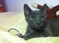 "Young Female Cat - Domestic Short Hair-Russian Blue: ""London"""