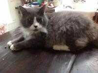 """Adult Male Cat - Domestic Medium Hair - gray and white: """"Tommy"""""""