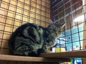 """Young Female Cat - Tabby: """"Julia"""""""