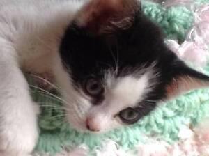 Kitten 'Polly' - Hunter Animal Rescue Weston Cessnock Area Preview