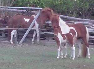 Miniature horse/pony Paint FAMILY (3+?) can be registered Cooroy Noosa Area Preview
