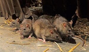 Wildlife pest control for rats & skunks