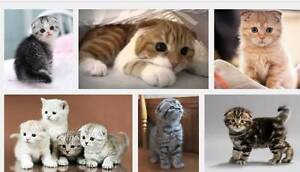 WANTED: Scottish Fold Kitten (Male) Sutherland Sutherland Area Preview