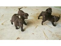 Choclate Lab Pups