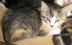 Kittens 125-250   8-12 weeks old  siamese/bengal