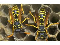 Pest Control Wasps Destroyed £25 (Paisley and Surrounding Area)