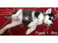 Siberian Husky Puppy Black And White Boy