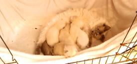 Pedigree Ragdoll kittens for sale