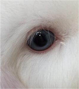 Purebred Baby Mini Lops Blue eyed whites Baldivis Rockingham Area Preview