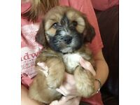 Puppies available 5 Star Licensed Breeder KC Reg