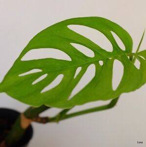 Wanted - Monstera Obliqua (Swiss Cheese Vine) Vasse Busselton Area Preview