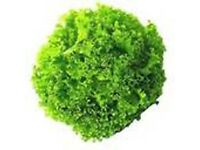 Lettuce Lollo Bionda - Growing in 7cm Pot –Full of Flavour - Cut and Come - 50p each