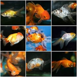 WANTED: assorted cold water fish e.g. Gold fish Carlton Melbourne City Preview