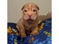 Sharpei pups boy and girl
