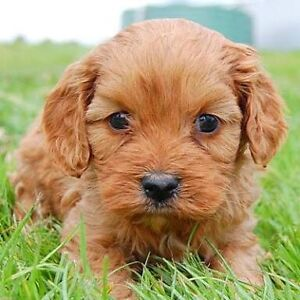 WTB Small puppy dog, breed like Maltese / Cavoodle Narre Warren South Casey Area Preview