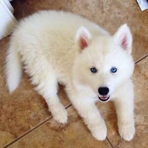 WANTED: WHITE MALE Pure Bred FLUFFY Husky Puppy!! Redland Bay Redland Area Preview