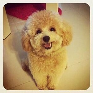 Looking for a toy poodle and king charles cavalier puppy Wantirna Knox Area Preview