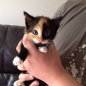 FREE CALICO KITTEN Cobram Moira Area Preview
