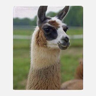 Wanted: Llama and alpacas  wanted