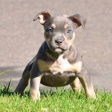Looking for a Tri coloured apbt East Maitland Maitland Area Preview