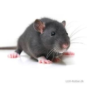 Baby Pet Rats and Mice Lithgow Lithgow Area Preview