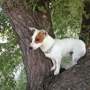 Looking for lost dog. Jack russle